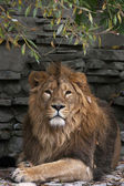 The dreamy look of an Asian lion in autumn fallen leaves on rocky background. King of beasts, biggest cat of the world. The most dangerous and mighty predator of the world. Wild beauty of the nature — Стоковое фото