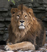 Look of an Asian lion in autumn fallen leaves, lying on rocky background. The King of beasts, biggest cat of the world. The most dangerous and mighty predator of the world. Wild beauty of the nature — Photo