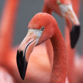 Closeup portrait of a red flamingo, one of the most beautiful bird of the world. The red head and grace neck of the exotic animal on colorful blur background. — Stock Photo