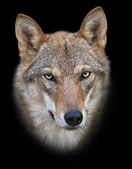 Head and neck of a young, two year old, european wolf female, isolated on black background. Face portrait of a forest dangerous beast, Canis lupus lupus, on blur background. Beauty of the wildlife. — Stock Photo
