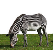 A zebra, browsing on meadow with fallen leaves, isolated on white background. Stripped beautiful African hoofed animal on autumn green grass. Black and white wild horse of the hot savanna. — Stock Photo