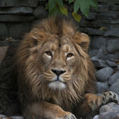 Young Asian lion, lying on rocky background. King of beasts, biggest cat of the world, looking straight into the camera. The most dangerous and mighty predator of the world. Wild beauty of the nature — Foto de Stock
