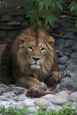 Asian lion, lying on rocky background. The King of beasts, biggest cat of the world, looking straight into the camera. The most dangerous and mighty predator of the world. Wild beauty of the nature. — Foto de Stock