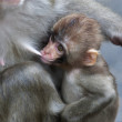 Feeding time of a little Japanese macaque. Expressive face of the monkey baby, suckling milk of his mother. Careless childhood of the primate cub. — Stock Photo #37490203