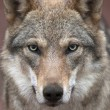 A young, two year old, european wolf female with soiled nose, looking straight into the camera. Face portrait of a forest dangerous beast, Canis lupus lupus, on blur pink background. — Stock Photo #37490235