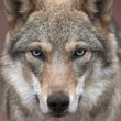 A young, two year old, european wolf female with soiled nose, looking straight into the camera. Face portrait of a forest dangerous beast, Canis lupus lupus, on blur pink background. — Photo