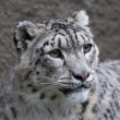 Stock Photo: Head of snow leopard female on gray background. Very beautiful and grace animal, but dangerous beast of cold mountains. excellent specimen of wildlife and inimitable beauty of nature.