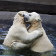 Brother fighting of polar bear cubs. Two white bear sibling are playing about in pool. Cute and cuddly animal babies, which are going to be the most dangerous beasts of the world. — Стоковое фото