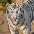 Eye to eye with sunlit white bengal tiger. most beautiful animal and very dangerous beast of world. This severe raptor is pearl of wildlife. Animal face portrait. — Stock Photo #37490813