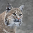 Stare of a red bobcat female, very beautiful beast of the North American forests. The head of the dangerous predator. Cute and cuddly animal of the wildlife. — Stock Photo
