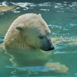 The head of a modest young polar bear, bathing in basin. — Stock Photo