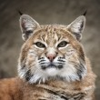 Stock Photo: Face portrait of a red bobcat female, very beautiful beast of the North American forests. The head of the dangerous predator. Cute and cuddly animal of the wildlife.