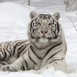 Calm white bengal tiger, lying on fresh snow. most beautiful animal and very dangerous beast of world. This severe raptor is pearl of wildlife. Animal face portrait. — Stock Photo #37490955