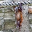 Stock Photo: Walking on air of orangutbaby. young monkey on thick rope. Cute and cuddly cub with cheerful expression. Careless childhood of little great ape. Humlike primate.
