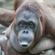 Expressive beauty of orangutfemale. Cute and cuddly monkey with inimitable expression. excellent representative of great apes. Humlike primate. — Stock Photo #37490985