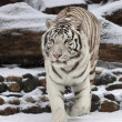 Stock Photo: Attention in eyes of white bengal tiger, walking on fresh snow in winter forest. most beautiful animal and very dangerous beast of world. This severe raptor is pearl of wildlife.