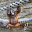 Young orangutis ready for low catch. Cute and cuddly cub with cheerful expression. Careless childhood of little great ape. Humlike primate — Stock Photo #37492893