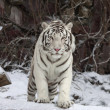 Stock Photo: Gaze of white bengal tiger, stepping over fallen tree in snowy forest. most beautiful animal and very dangerous beast of world. This severe raptor is pearl of wildlife.