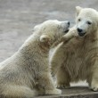 Two young siblings of polar bear are telling baby stories. Cute and cuddly cubs with cheerful expression. Careless childhood of the excellent representatives of the severe and cold Arctic — Stock Photo #37492905