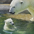 Polar bear mother is bathing her cub in pool. Happiness of a polar bear family. Cute and cuddly live plush teddies and the most dangerous and biggest beast of the world. — Стоковое фото