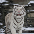 Stock Photo: Gaze of white bengal tiger, standing with open chaps among snowfall. most beautiful animal and very dangerous beast of world. This severe raptor is pearl of wildlife.