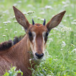A face portrait of a young sable antelope. A baby of Hippotragus niger, lying among green grass. Very beautiful head of the saber antelope girl on the natural background. — Stock Photo