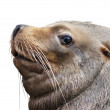 Stock Photo: Side look of northern selion, eumetopias jubatus. huge and fat beast - clumsy on beach and deft in water. biggest eared seal, inhabitant of northern part of Pacific Ocean.