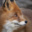 Stock Photo: Side face portrait of red fox male, vulpes vulpes. head beautiful forest beast. Smart look of dodgy wild dog, skilled raptor and elegant animal.