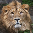 Stock Photo: Face portrait of calm lion. head of King of beasts, biggest cat of world. most dangerous and mighty predator of world. Beauty of wild nature.