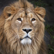 Stock Photo: Face portrait of calm lion. King of beasts, biggest cat of world. most dangerous and mighty predator of world. Beauty of wild nature.