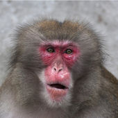 Stare of a Japanese macaque male. Expressive red face of the monkey family chief. Human like grimace of the excellent animal. Inimitable beauty of the wildlife. — Stock Photo