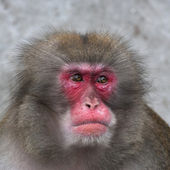 Side look of a Japanese macaque male. Expressive red face of the monkey family chief. Human like grimace of the excellent animal. Inimitable beauty of the wildlife. — Foto de Stock