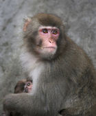 Mother protection of a Japanese macaque. Monkey female defends her baby with her own body. Human like expression on the pink face of the cute primate. — Stock Photo