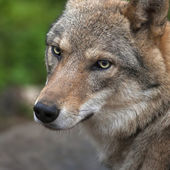 Graceful turn of the head of the young, two year old, european wolf female. Face portrait of a forest dangerous beast, Canis lupus lupus, on blur background. Beauty of the wildlife — Stock Photo