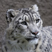 The head of a snow leopard female on gray background. Very beautiful and grace animal, but dangerous beast of cold mountains. An excellent specimen of wildlife and inimitable beauty of nature. — Stock Photo