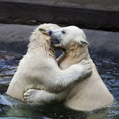 Brother fighting of polar bear cubs. Two white bear sibling are playing about in pool. Cute and cuddly animal babies, which are going to be the most dangerous beasts of the world. — Stock Photo