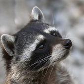 Begging look of a raccoon. The head of cute and cuddly animal, that can be very dangerous beast. Side face portrait of the excellent representative of the wildlife. — Stock Photo