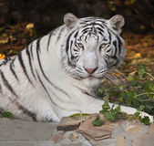 A lying white bengal tiger, looking back, on autumn background. The most beautiful animal and very dangerous beast of the world. This severe raptor is a pearl of the wildlife. Animal face portrait. — Stock Photo