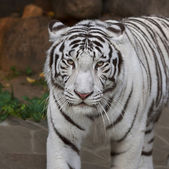 A calm pacing white bengal tiger. The most beautiful animal and very dangerous beast of the world. This severe raptor is a pearl of the wildlife. Animal face portrait. — Stock Photo