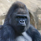 Face portrait of a gorilla male, severe silverback, on rock background. Menacing side look of the great ape, the most dangerous and biggest monkey of the world. The chief of a gorilla family — Stock Photo