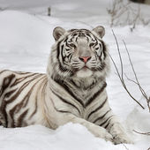 A white bengal tiger, calm lying on fresh snow. The most beautiful animal and very dangerous beast of the world. This severe raptor is a pearl of the wildlife. Animal face portrait. — Stock Photo
