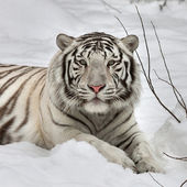 Gaze of a white bengal tiger, lying on fresh snow in alert pose. The most beautiful animal and very dangerous beast of the world. This severe raptor is a pearl of the wildlife. Animal face portrait. — Stock Photo