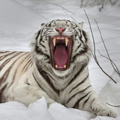 A yawning white bengal tiger, lying on fresh snow. The most beautiful animal and very dangerous beast of the world. This severe raptor is a pearl of the wildlife. Animal face portrait. — Stock Photo