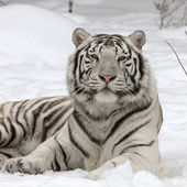 A calm white bengal tiger, lying on fresh snow. The most beautiful animal and very dangerous beast of the world. This severe raptor is a pearl of the wildlife. Animal face portrait. — Stock Photo