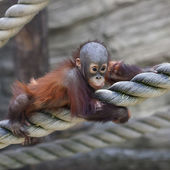 An orangutan baby on thick rope. Cute and cuddly cub with cheerful expression. Careless childhood of little great ape. Human like primate. — Stock Photo