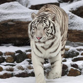 Attention in eyes of a white bengal tiger, walking on fresh snow in winter forest. The most beautiful animal and very dangerous beast of the world. This severe raptor is a pearl of the wildlife. — Stock Photo