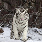 Gaze of a white bengal tiger, stepping over the fallen tree in snowy forest. The most beautiful animal and very dangerous beast of the world. This severe raptor is a pearl of the wildlife. — Stock Photo