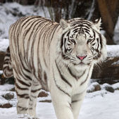 Stare of a calm white bengal tiger in winter forest. The most beautiful animal and very dangerous beast of the world. This severe raptor is a pearl of the wildlife. An excellent animal portrait. — Stock Photo