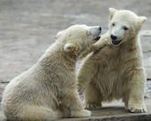 Two young siblings of polar bear are telling baby stories. Cute and cuddly cubs with cheerful expression. Careless childhood of the excellent representatives of the severe and cold Arctic — Stock Photo