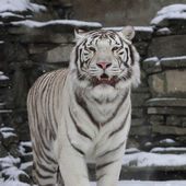 Gaze of a white bengal tiger, standing with open chaps among snowfall. The most beautiful animal and very dangerous beast of the world. This severe raptor is a pearl of the wildlife. — Stock Photo